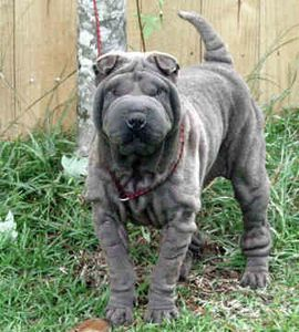 toy-chinese-shar-pei-0007.jpg