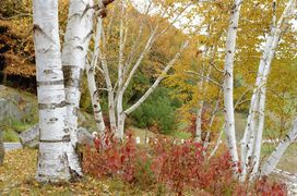 NEW HAMPSHIRE betula-papyrifera-ha-atal