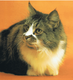 Maine_Coon.png