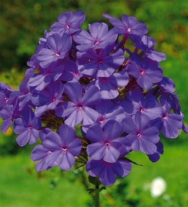 PHLOX_THE_KING_A.JPG