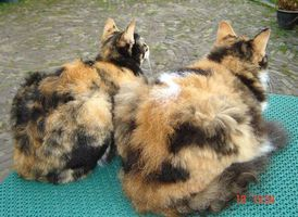 Laperm blacktortie white wikipedia