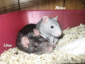 Photo Rat, Lilou et Ninou - 08.06.11