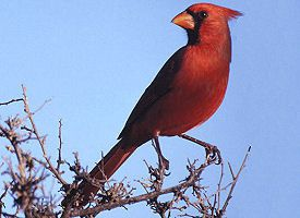 kentucky-bird northern cardinal