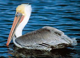 louisiana-bird brown pelican
