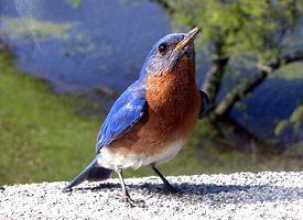 missouri-bird eastern bluebird