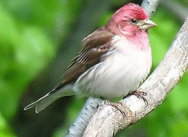 newhampshire-bird purple finch