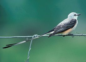 oklahoma-bird scissor tailed flycatcher