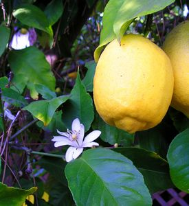 Citron Wikipedia