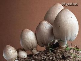 coprinus-acuminatus--yd-.jpg