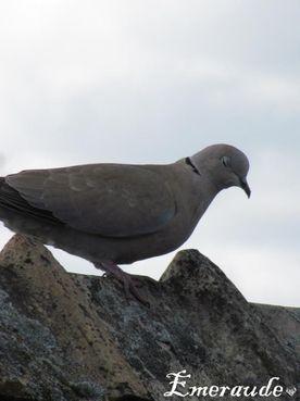 Photo Oiseaux, tourterelle turque - 22.05.11 - 04