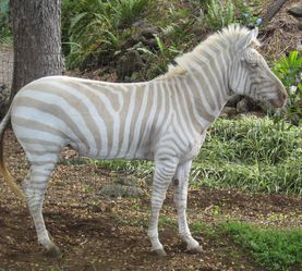 zbre albinos wikipedia
