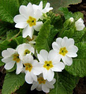 primula-acaulis-blanche-26-mars-10.jpg