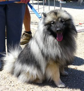keeshond-spitz-loup-sourire