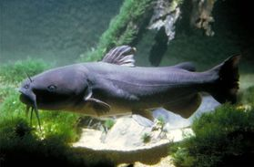 channel catfish channel catfish ictalurus punctatus A7242A