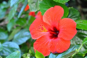 Maldives-Hibiscus-Rouge-copie-1.jpg