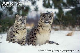 Snow-leopard-leopard-des-neiges-parousie.over-blog.fr.jpg