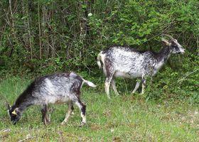 Chèvres de Lorraine photo assoc. race (3)