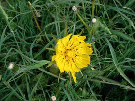 salsifisDouteux Tragopogon dubius juin14 Les Angles