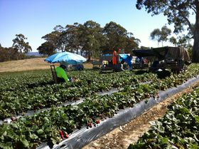 http://img.over-blog.com/280x209/5/04/06/24/Strawberry-picking-at-Nairne/Strawberry-picking-at-Nairne-0509.JPG