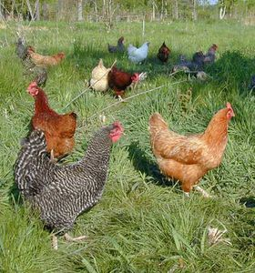 14-fickle-creek-hens-
