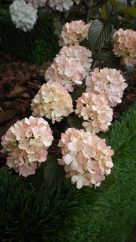 viburnum-plicatum-mary-milton.JPG
