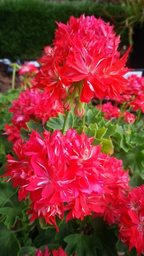 Pelargonium-Fournet-therese.JPG