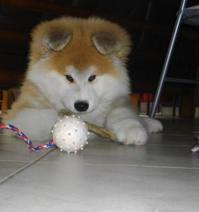 long-haired-akita-inu-puppy2
