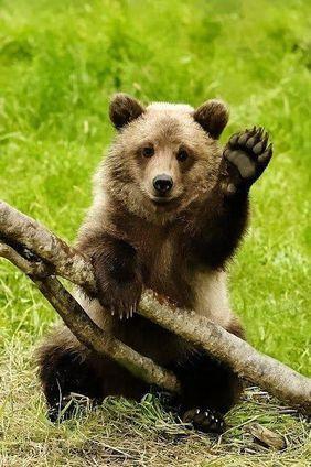 animal-ours-salut.jpg