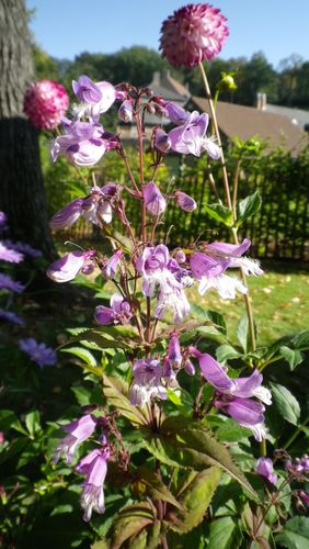 penstemon-smalli.JPG