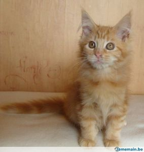 77261542_4-chatons-maine-coon-a-reserver.jpg