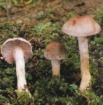 Cortinarius--azur-ovelatus.jpg