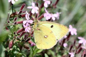 Fleurs-et-Papillons 1757