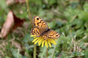 Papillons 1809 1