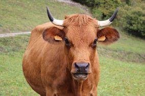 Vaches-tarines 1908 1 1
