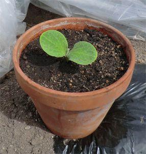 Cultiver le potimarron stefan - Cultiver aubergine en pot ...