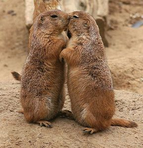 Chiens-de-prairies-Kissing_prairie_dog-par-Brocken-Inaglory.jpg