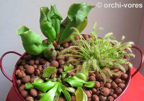 plante carnivore rempotage