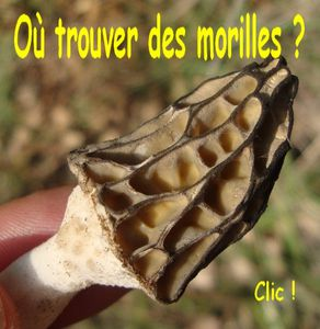 O trouver des morilles-copie-1