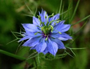 http://img.over-blog.com/293x225/5/49/81/22/Images-Articles/nigelle.jpg
