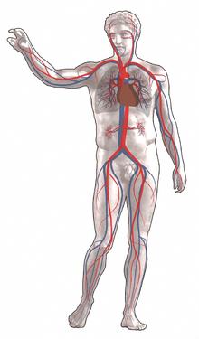 220px-Blutkreislauf.png