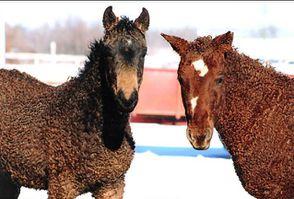 bashkir-curly-horse-OK