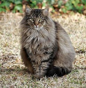 fluffy-maine-coon-mix-largethumb473345.jpg