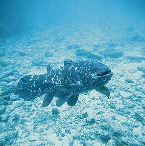 Coelacanthe.jpg