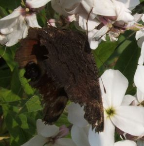papillon-0859-1.JPG