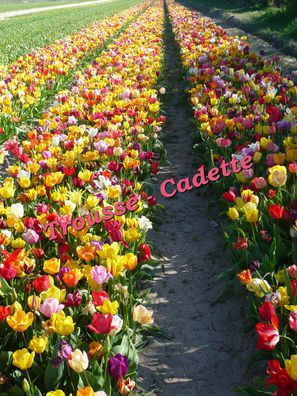 champs-de-tulipes-multico.jpg