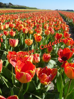champs-de-tulipes-oranges.jpg