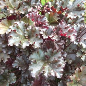heuchera-dark-secret