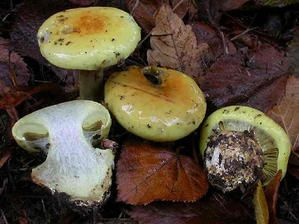 Cortinarius-elegantissimus--DS-.jpg