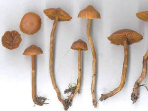 cortinarius-gentilis.jpg