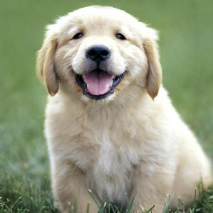 chiot-golden-retriever.jpg